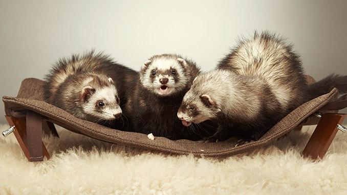 Bild von drei Frettchen in der Hängematte